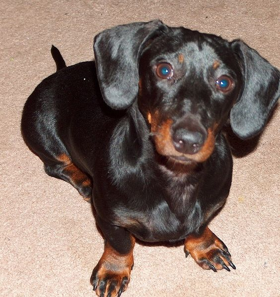 Share Your Turkey Dog Photo And Story For A Chance To Win This Is Beauregard Or Bo For Short Bo Is Always Getting In Turkey Dogs Dachshund Owner Dog Photos