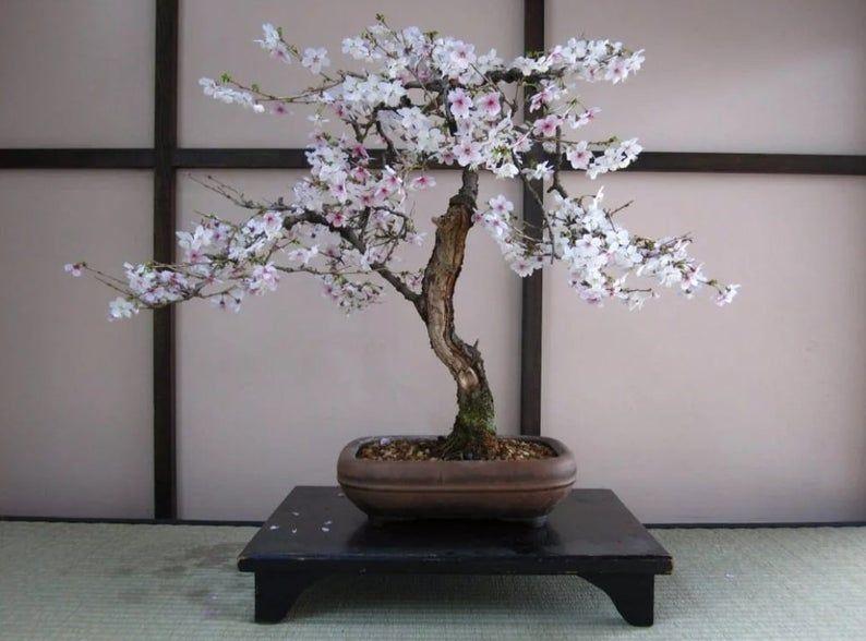 Bonsai Black Cherry Tree Seeds 20 Seeds Grow A Fruit Etsy In 2021 Wisteria Tree Bonsai Tree Types Bonsai Tree Care