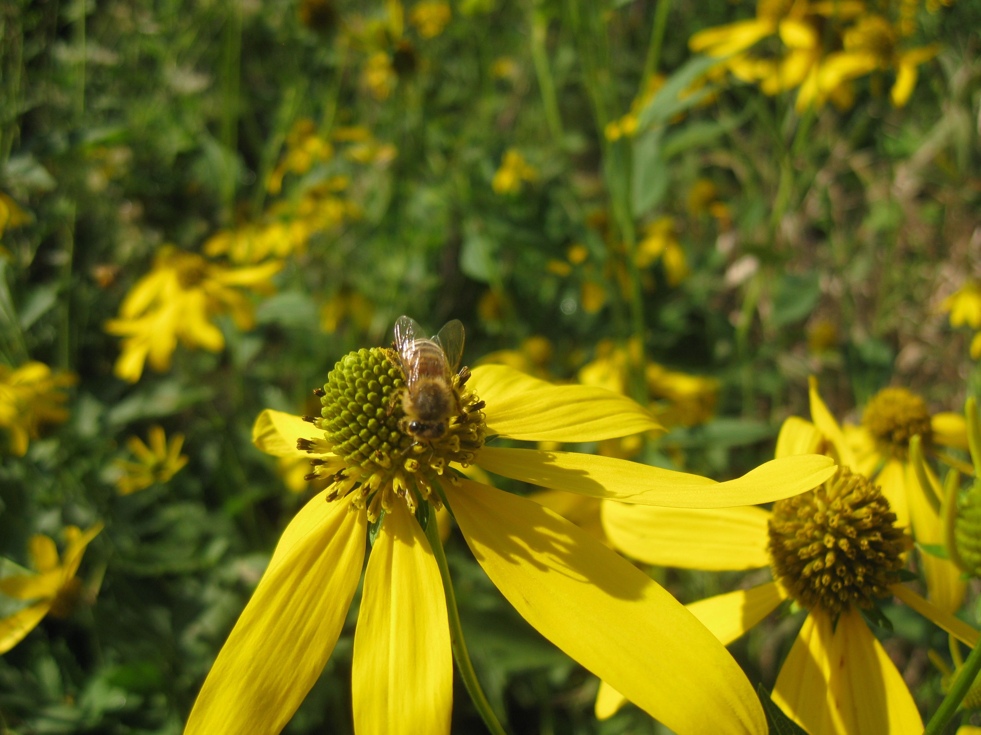 Flowers that like sun and moist soil -  Facw Showy Flowering Perennial Yellow Petals With Central Green Cones July September Bloom Grows In Moist Soils Full Sun To Partial Shade Tall
