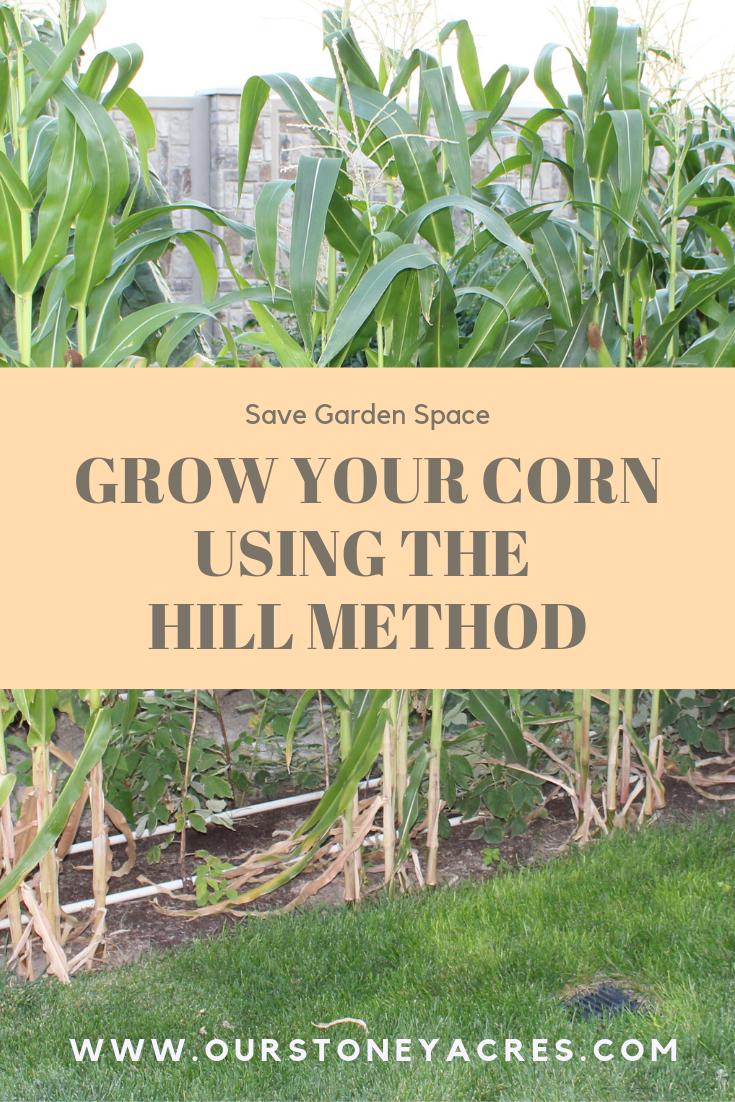 Growing corn using the hill method | Small vegetable ...