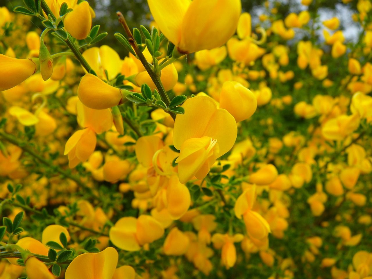 Free Image On Pixabay Broom Flower Yellow Smell Australian Plants Annual Plants Australian Wildflowers