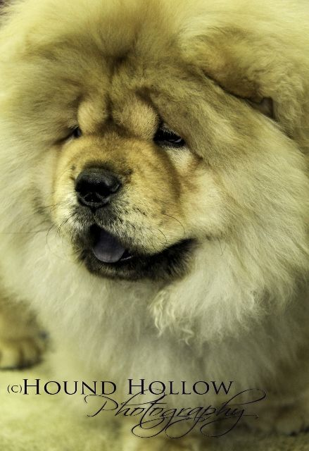 Chow Chow Chow Chow Animals Dogs