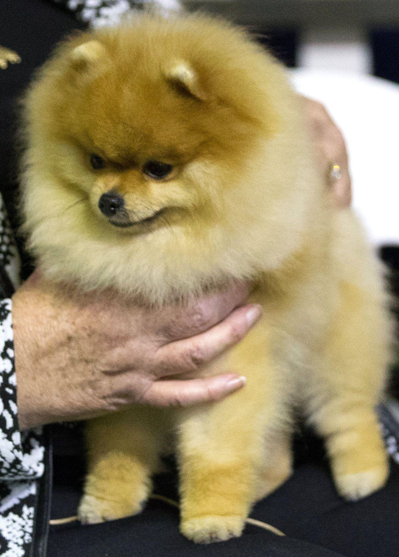 Champion Dochlaggie Deagol The Hobbit As A Puppy Pomeranian Puppy Pomeranian Dog Pomeranian