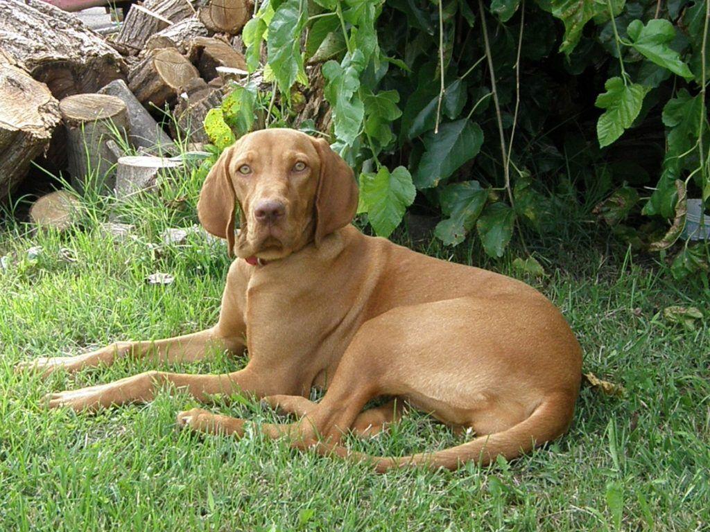 Vizsla Temperament Personality Canna Pet Vizsla Dogs Vizsla Short Haired Dog Breeds
