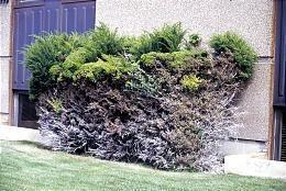 Incorrectly pruned evergreen shrub