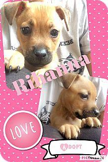Montgomery Tx Terrier Unknown Type Medium Shar Pei Mix Meet Rihanna Aka Terrier Pet Adoption Montgomery