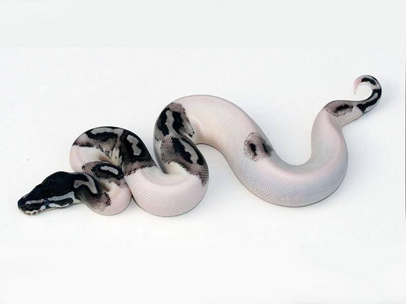ball python morphs   Lightning Pied - Morph List - World of Ball Pythons & ball python morphs   Lightning Pied - Morph List - World of Ball ...