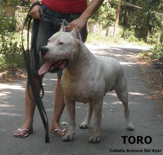 Dogo Argentino Dog Argentino Dogs Doggy