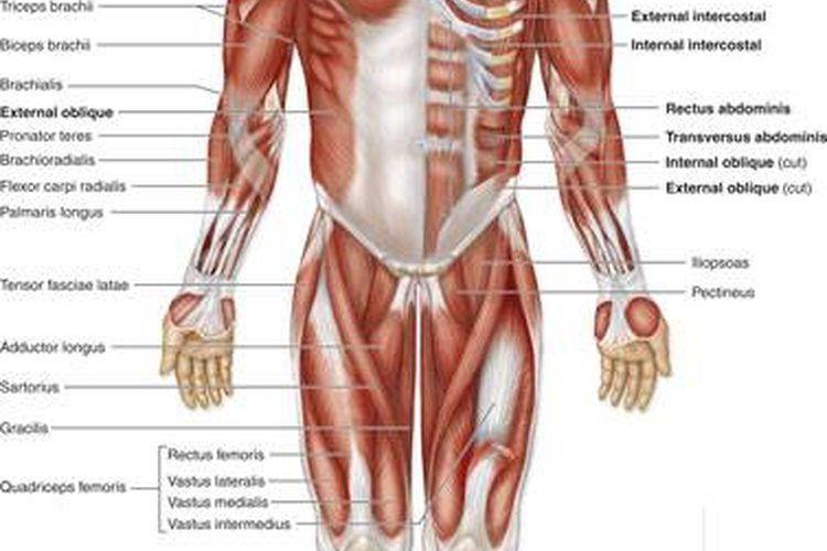 Hermosa Concurso De La Anatomía Humana Colección de Imágenes ...