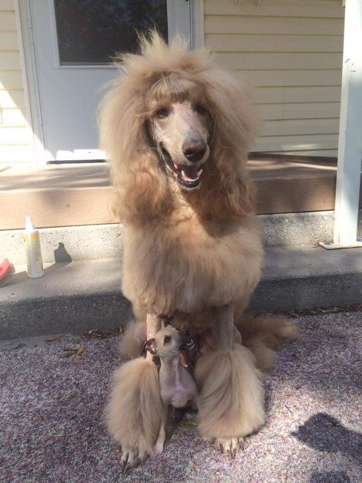 Pin By Randi Tarillion On Standard Poodles Dog Love Poodle Dog Cat