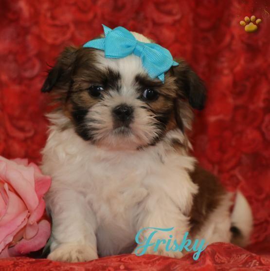 Pin By Elsabe Faul On Yorkies Shih Tzu Puppy Shih Tzu Shih Tzu Dog