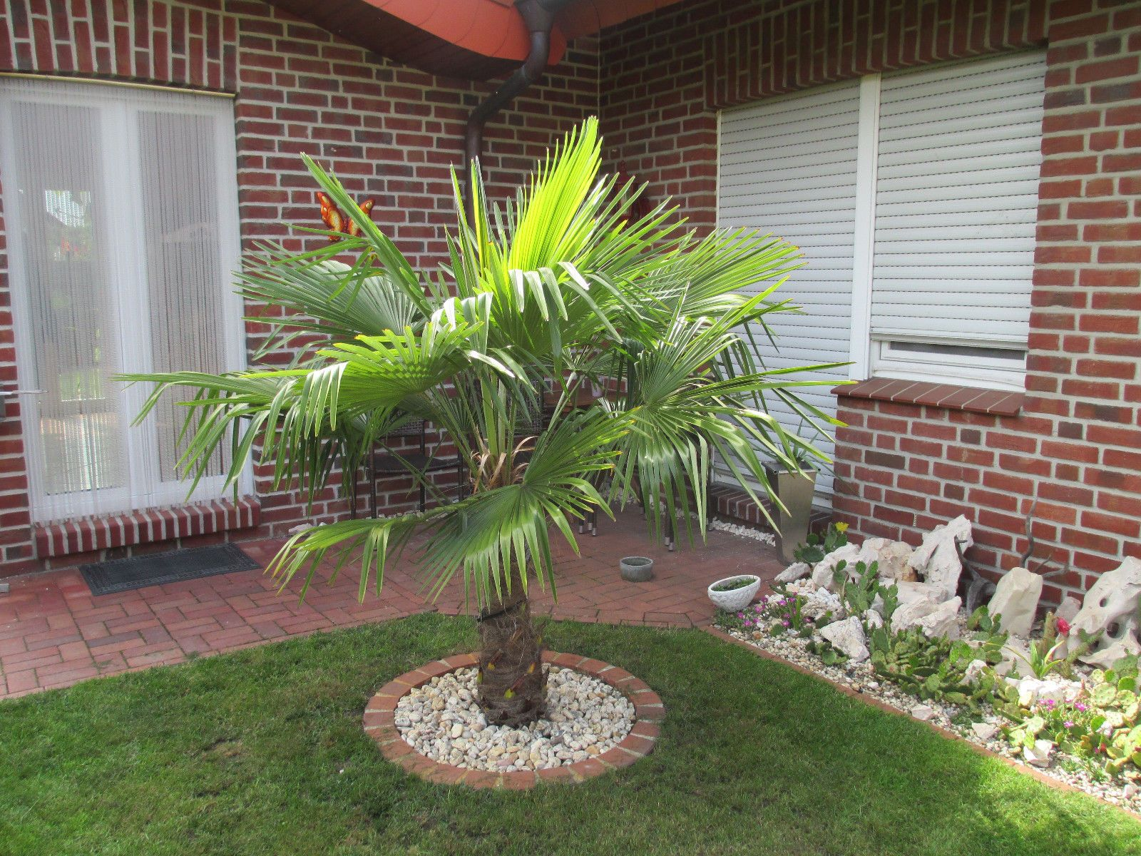 Trachycarpus fortunei Hanfpalme winterhart bis 17°C Palme