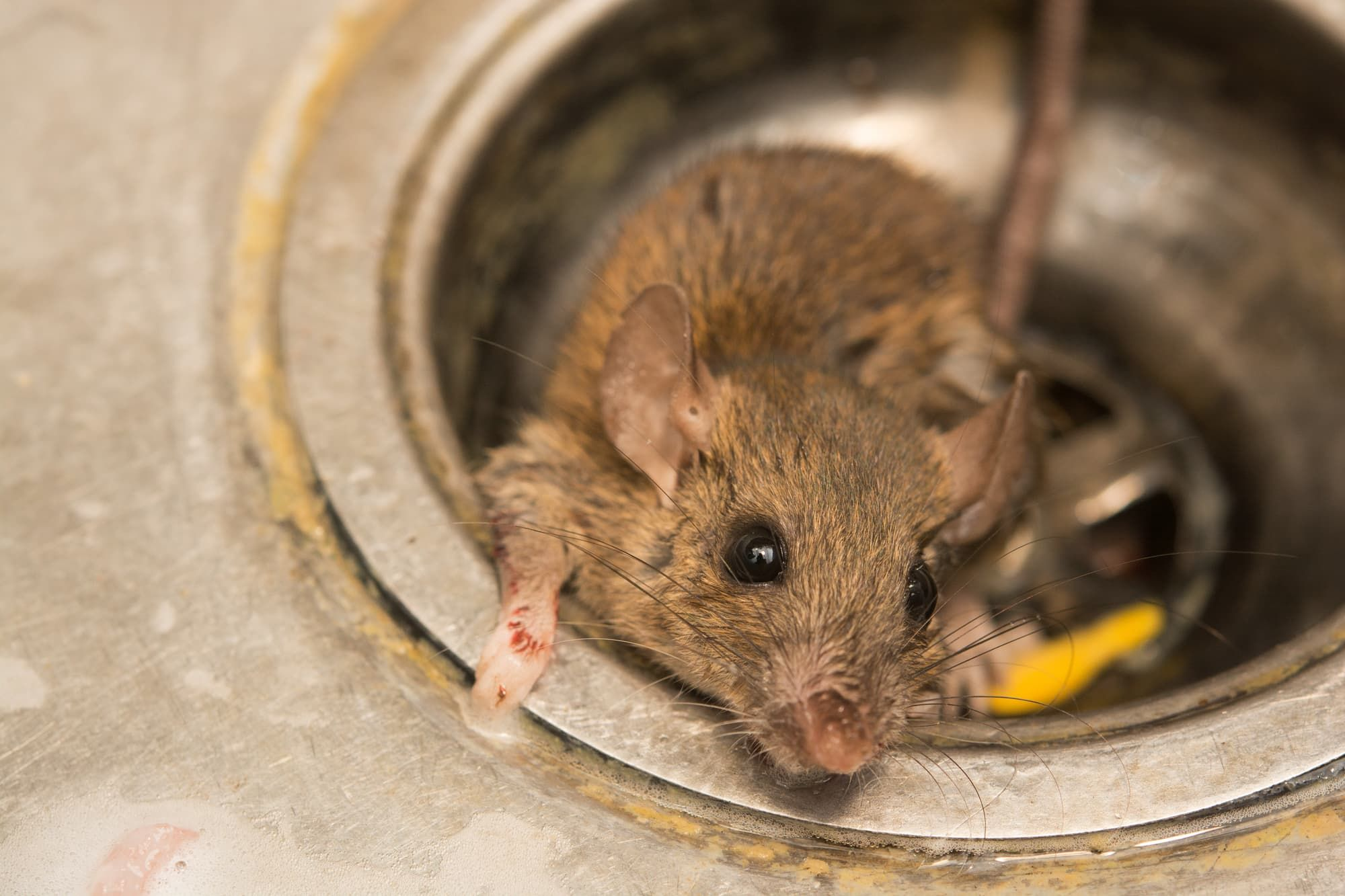 How To Properly Dispose Of A Dead Rat Mice Control Pests Pest Control