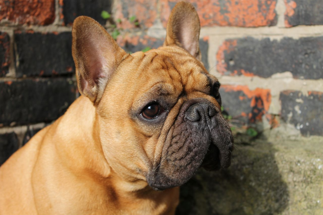 Red fawn French Bulldog Fawn french bulldog, French