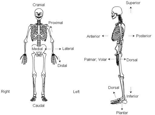 standard anatomical position   diagram   right  left