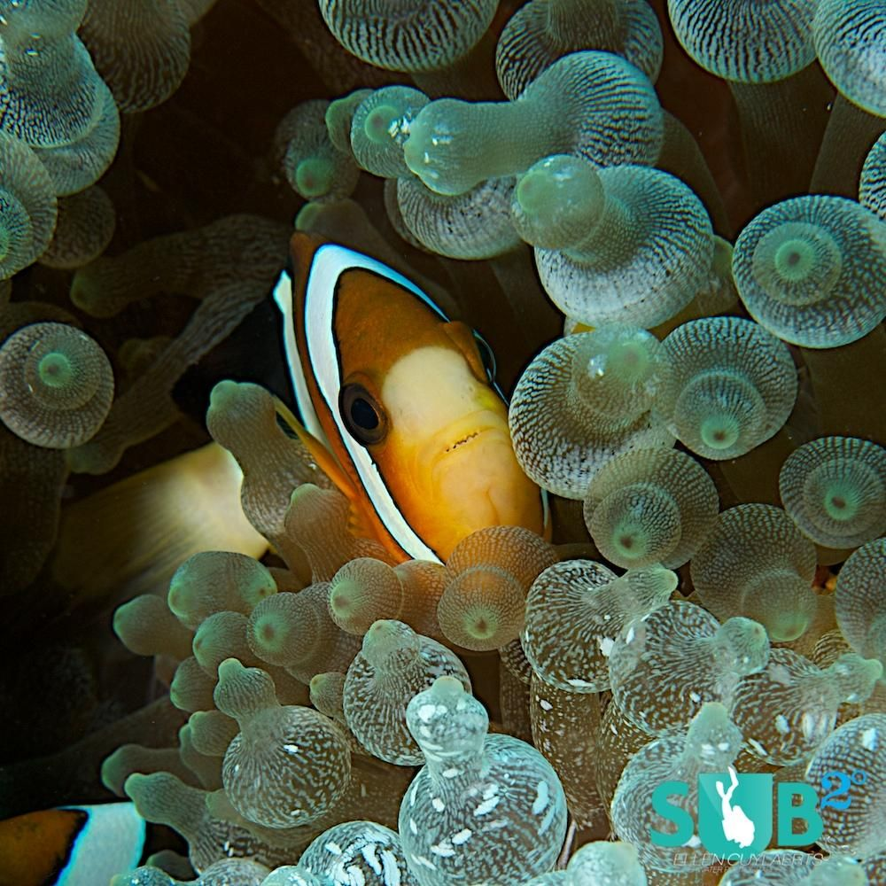 An adorable Anemonefish! Photo by @ellencuylaerts in Indonesia. More about diving #Indonesia http://goo.gl/eYTaQ3