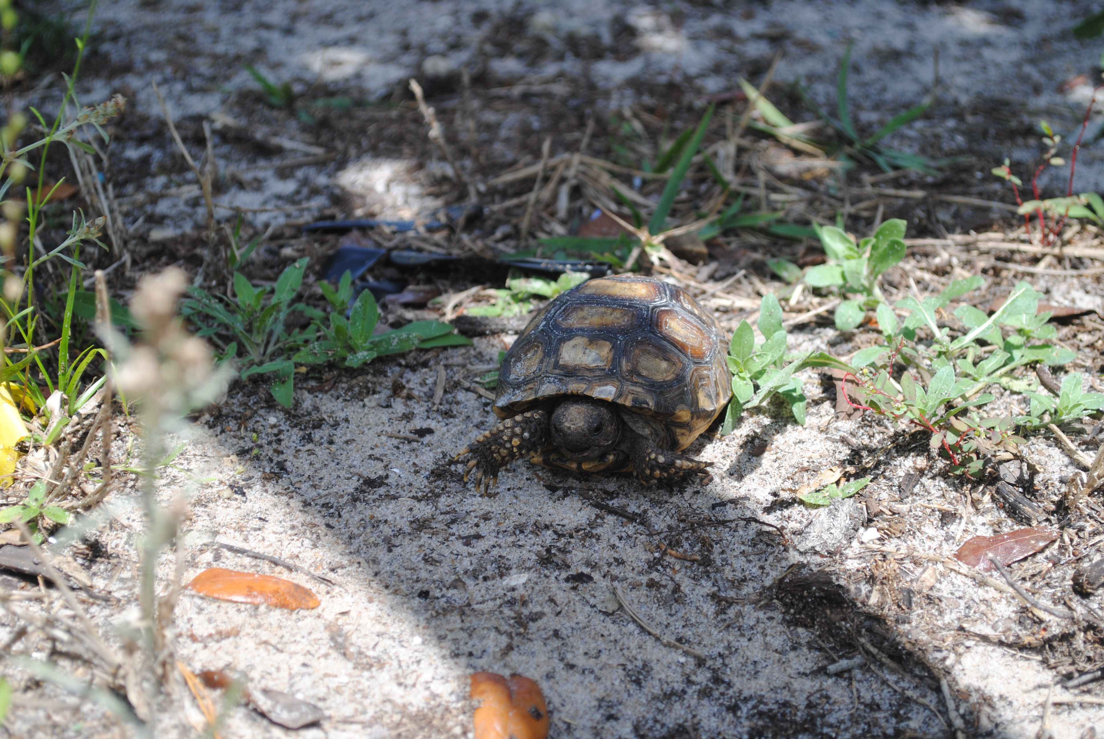 A baby gopher tortoise from my backyard—Chuluota, Florida