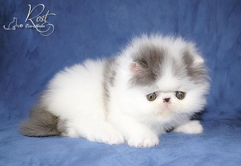 Alfenloch Persian Kittens Ontario Canada And Himalayan Kittens