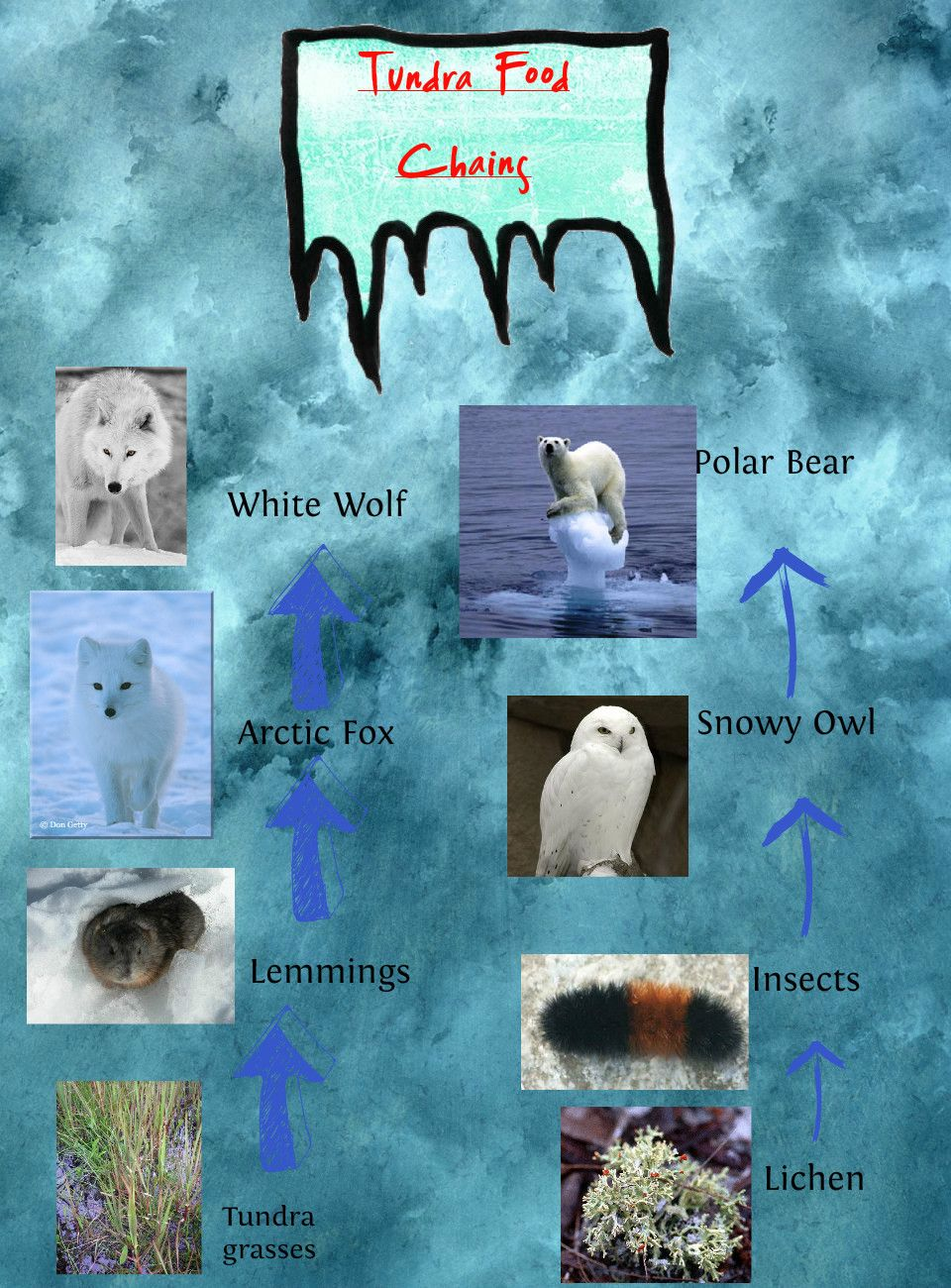 Ashley S Tundra Food Chain Publish With Glogster Food Chain Tundra Biology Projects [ 1300 x 960 Pixel ]