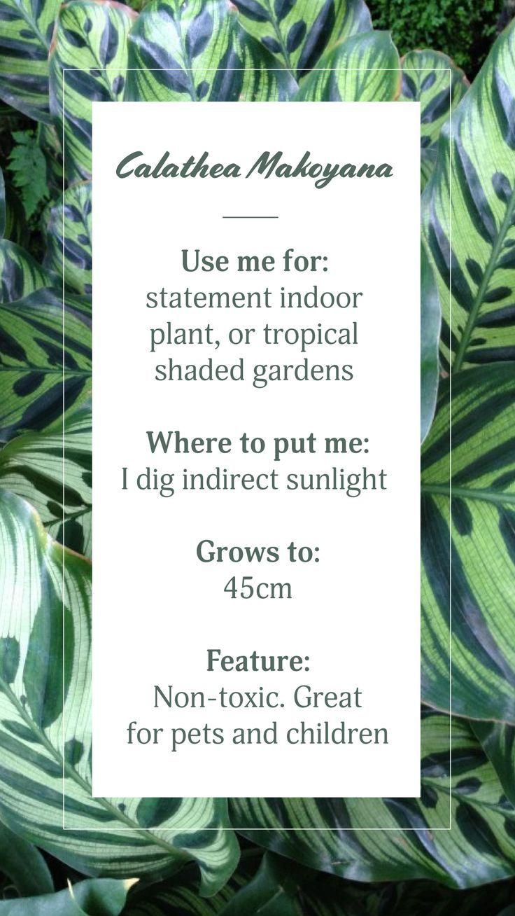 Best Calathea Makoyana Calathea Evergreen Plants Shade Garden 640 x 480