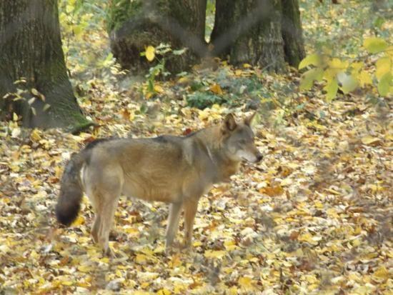 można czasami zobaczyć wilka