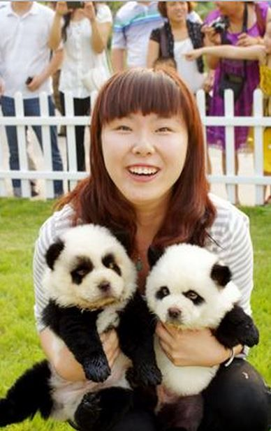 Baby Chow Chows Made To Look Like Pandas Panda Dog Panda Puppy