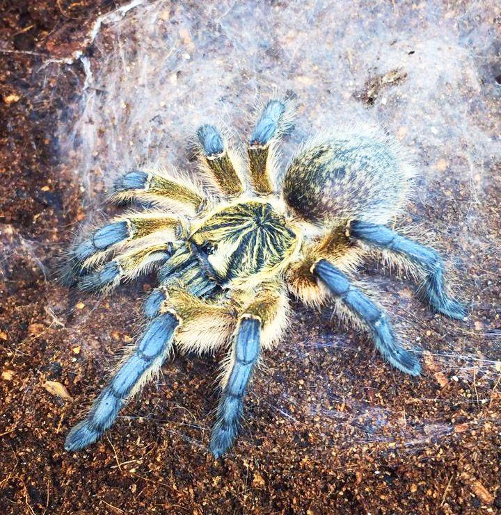 Harpactira pulchripes Reptiles Pinterest Spider