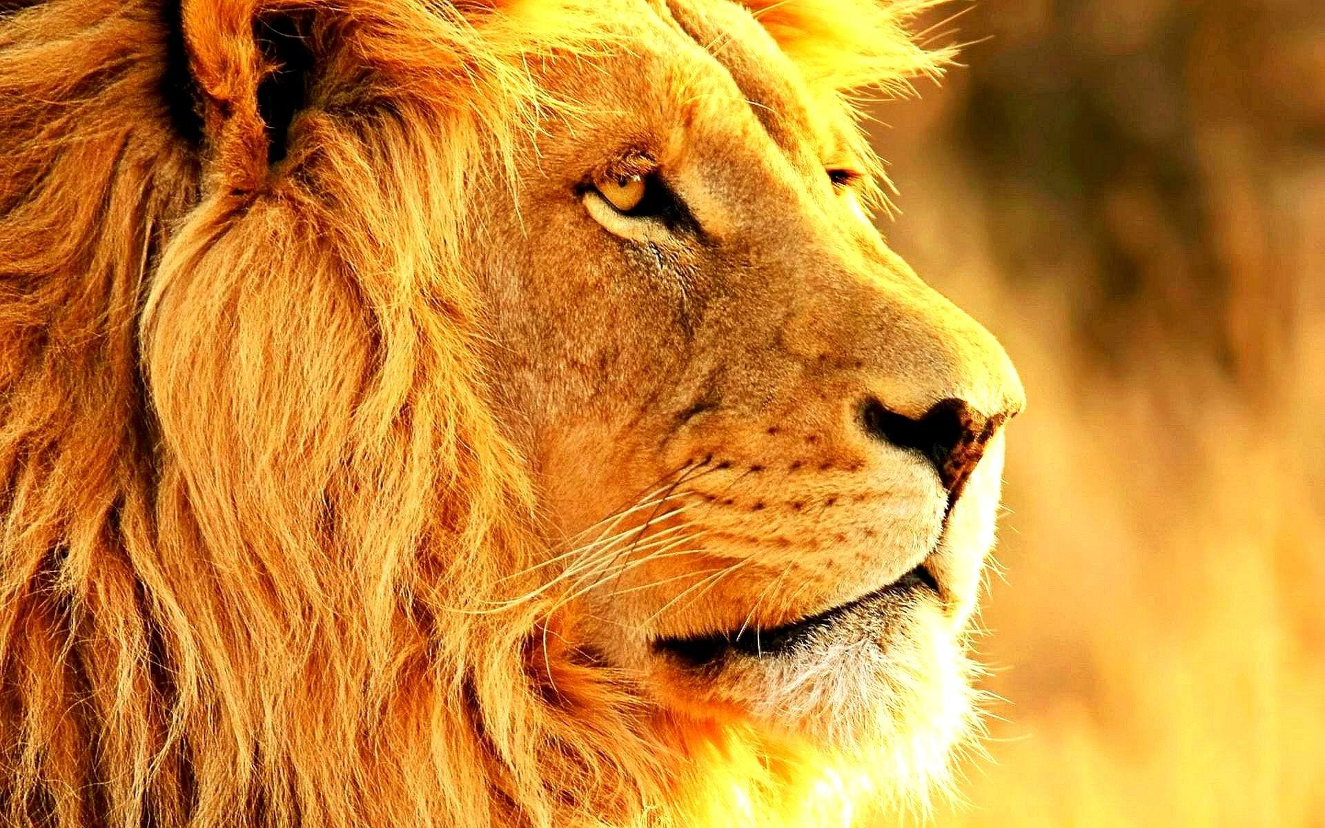 Animals Animals Lion Head Ipad Hd Wallpapers 1200x1920Px