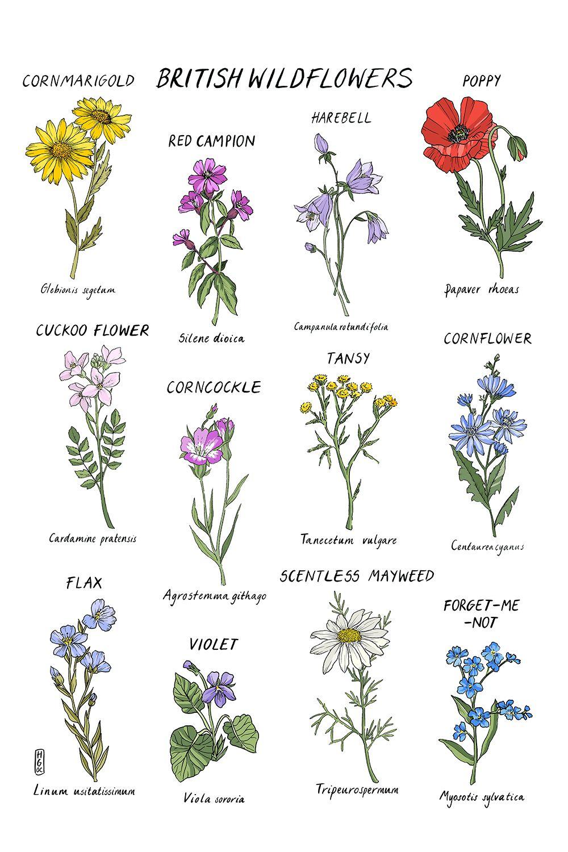 British Wildflower Print. A4 & A3 Art Print. Botanical Art