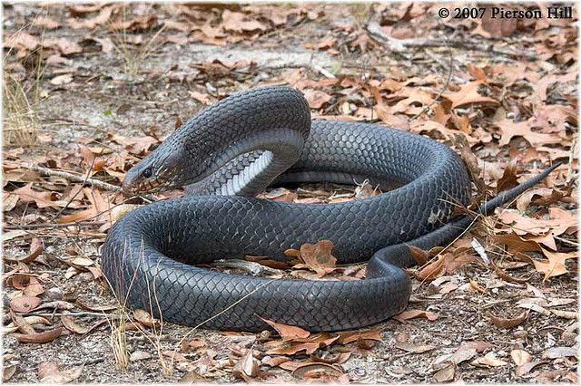 Eastern Indigo Snake Drymarchon Couperi Snake Reptiles And Amphibians Indigo
