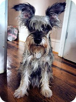 Safe Nesquehoning Pa Pawsitively Perfect Rescue Miniature Schnauzer Meet Mousey A Dog For Adoption Http W Schnauzer Miniature Schnauzer Dog Adoption