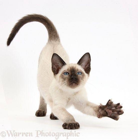 Siamese kitten, 10 weeks old, stretching