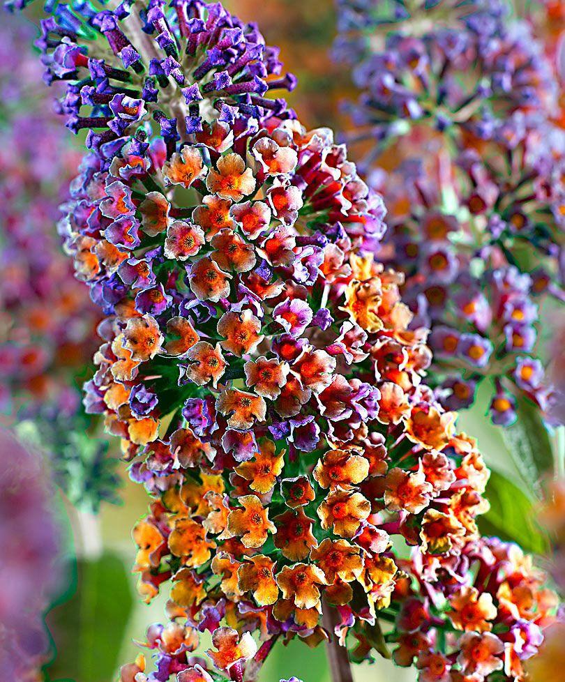 arbuste aux papillons multicolore arbres arbustes bakker france plantes interieur. Black Bedroom Furniture Sets. Home Design Ideas