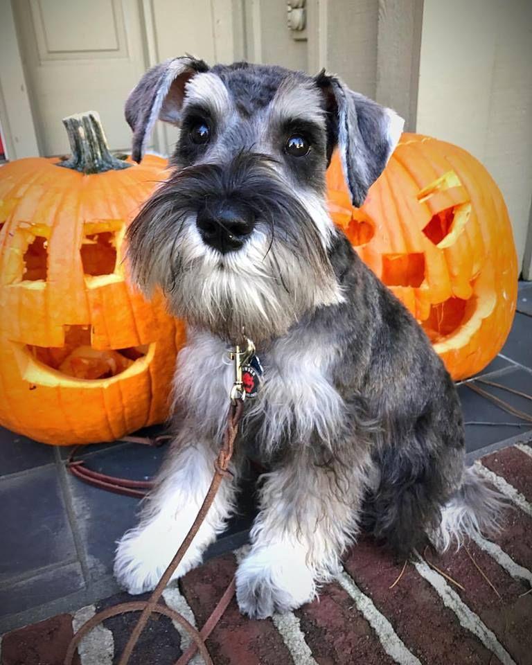 Happy Halloween And Happy 5 Month Birthday To Bowser Mini Schnauzer Puppies Schnauzer Puppy Poor Dog