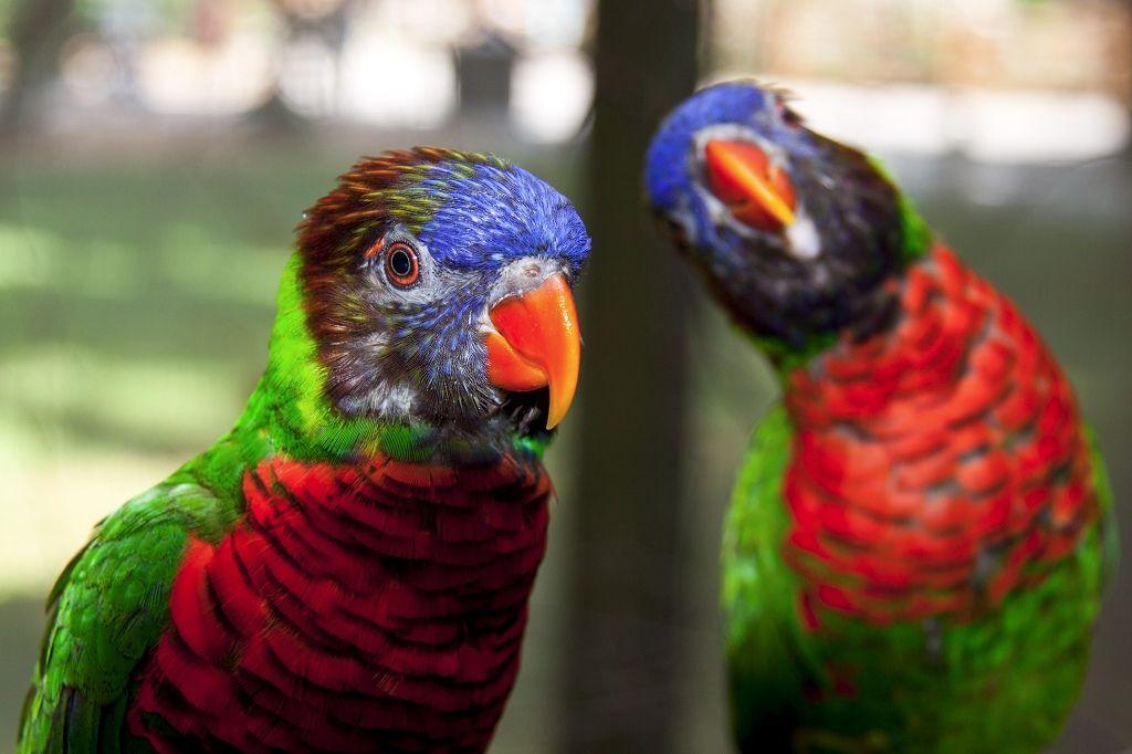 Loriquet Arc En Ciel With Images Cockatoo Birds Species