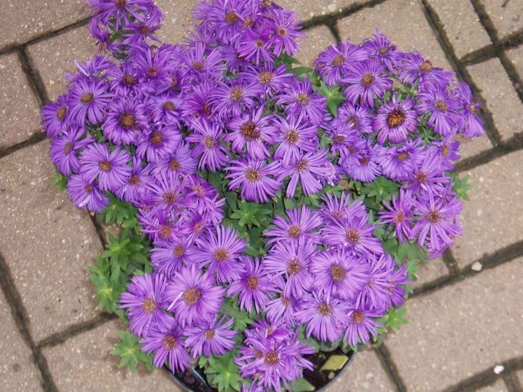 Aster Flowers Seeds New England Aster Novae Angliae Flower Seeds Showy Flowers Flowers
