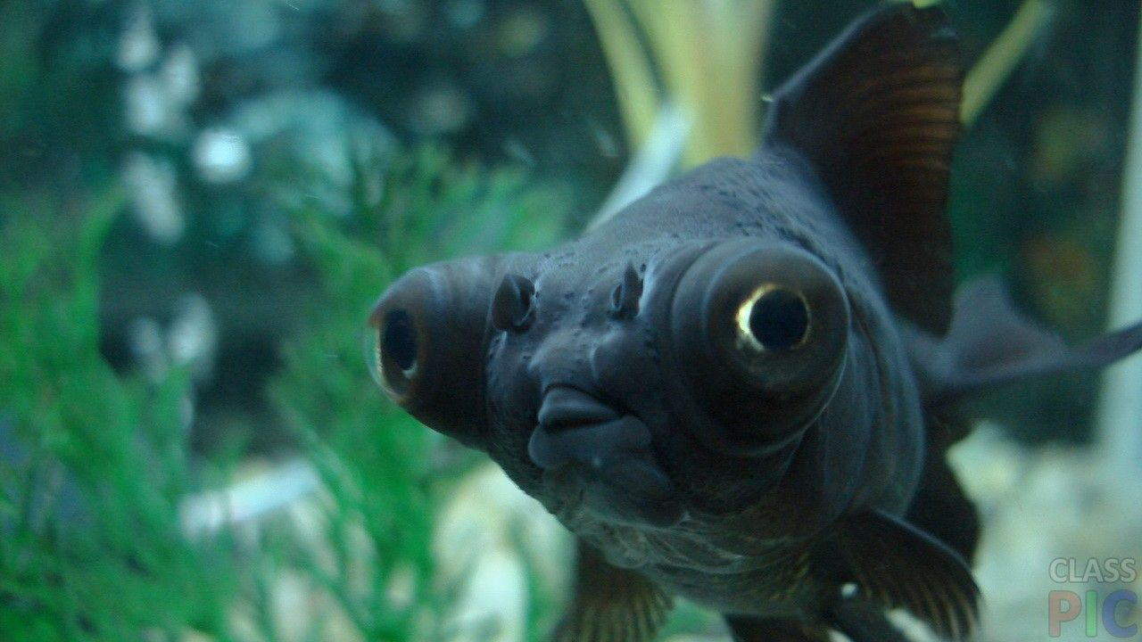 Черная рыбка в аквариуме | Аквариумная рыбка, Ши-тцу, Животные