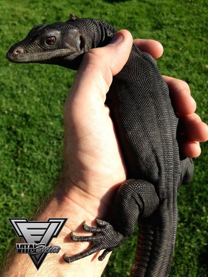 Komodo Dragon Fly Black IPA | Upland Brewing Company