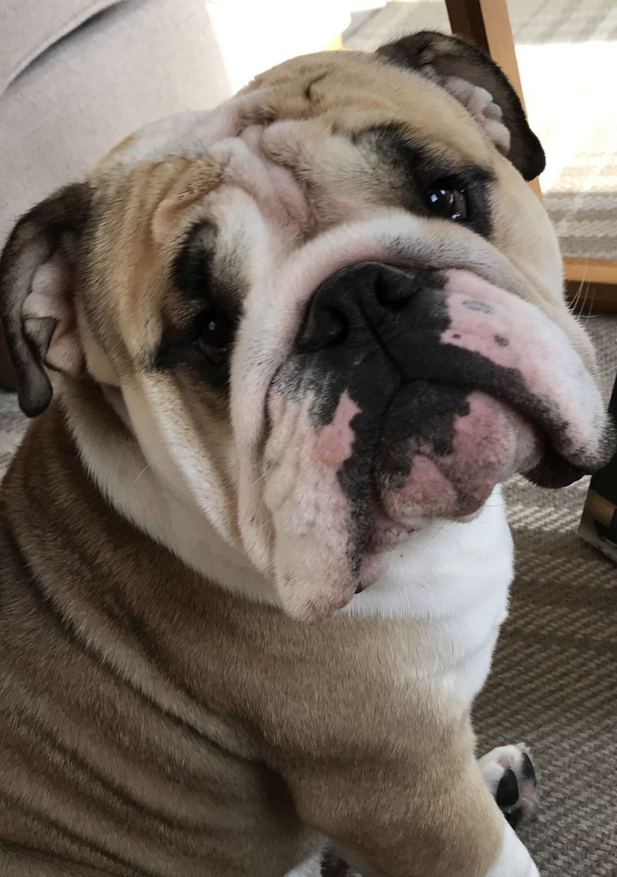 Bulldog Looking For Loving Home Bulldog Puppies Puppies Dogs