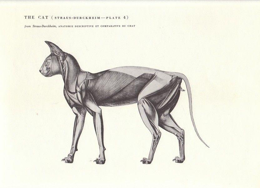 Vintage Cat Musculature Anatomy Illustration Book Page | Die Kunst ...