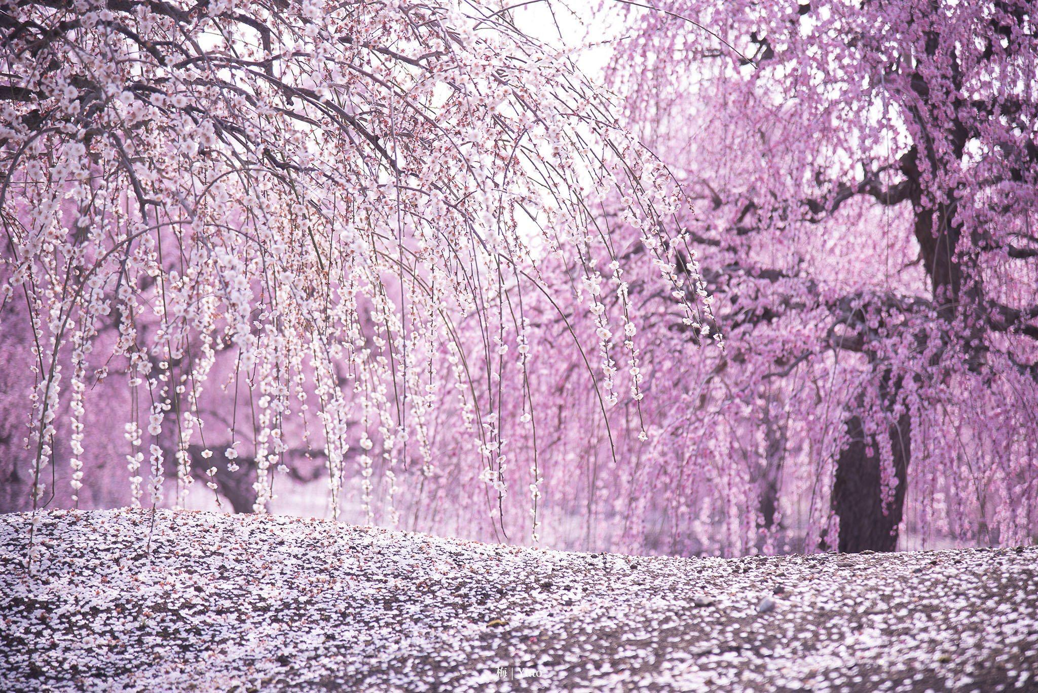 まとめ 桜 の 反応 韓国