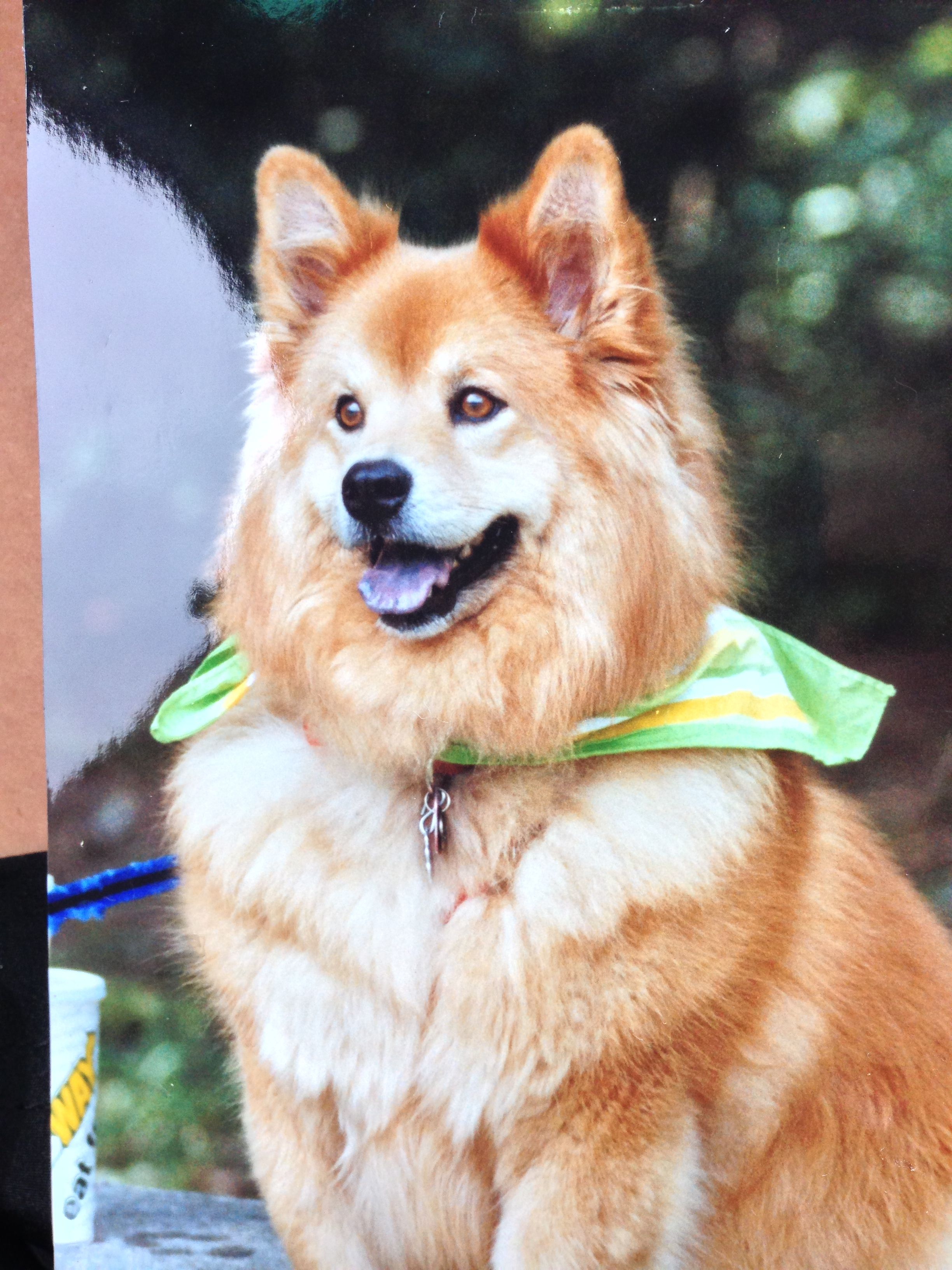 Corgi Chow Mix Is A Wonderful Mix To Adopt Corgi Chow Mix