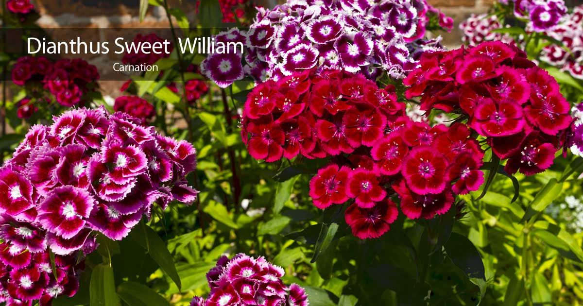 Sweet William Flower Care How To Grow Dianthus Plants Dianthus Flowers Sweet William Flower Care