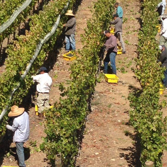 Keever Vineyards Harvest 2015