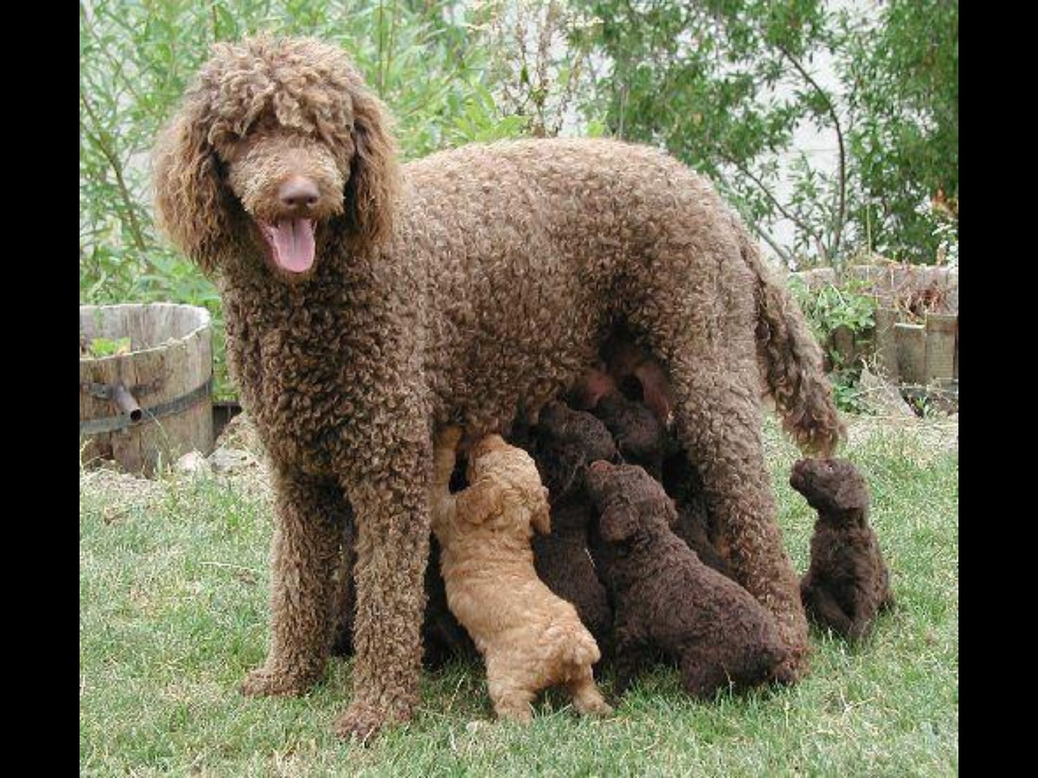 Pin by george reynolds on poodles pinterest poodle and standard
