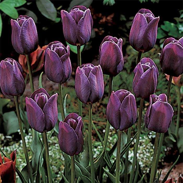 tulip bleu aimable from jung seed year of the tulip national garden bureau bulbs for spring flowers pinterest gardens tall plants and tulip bulbs