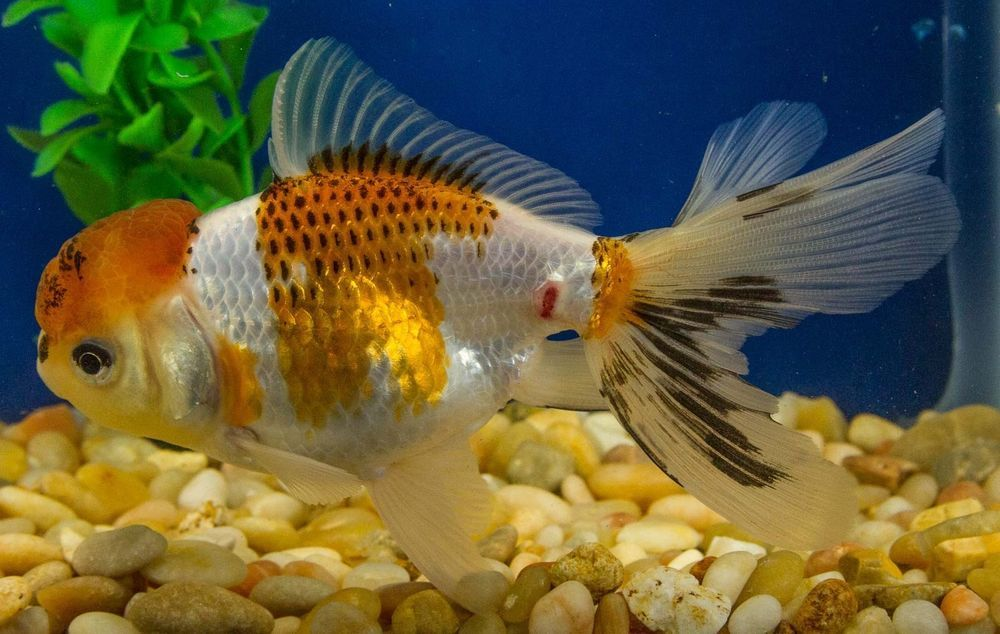 4 inch CALICO RANCHU Imported live fancy goldfish for koi