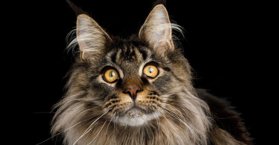 Best Cat Breeds For Kids Fluffy Cat Breeds Best Cat Breeds Cat