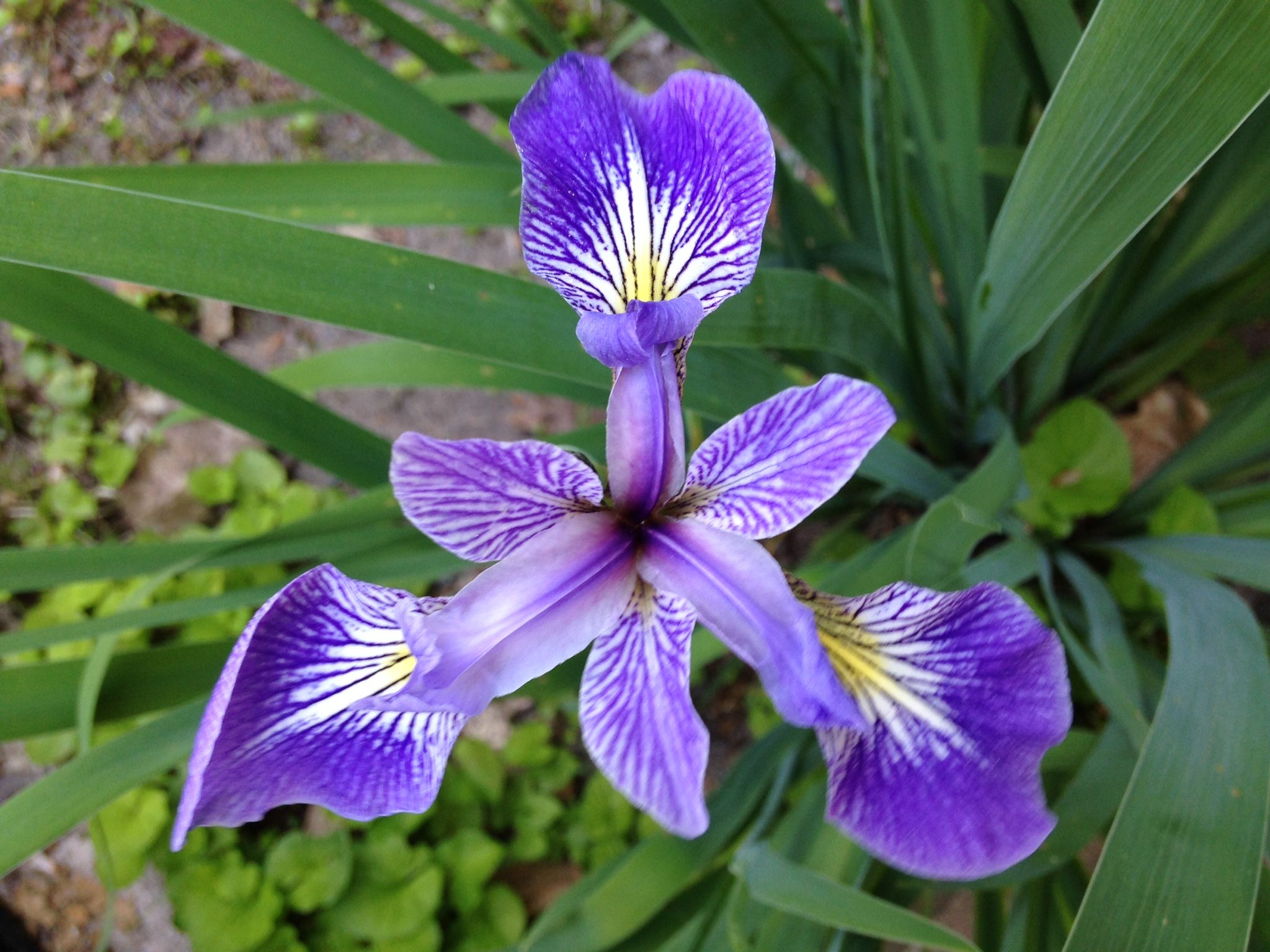 The Iris is February's birthday flower. It symbolizes
