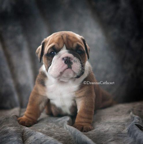Funny Story Of A Grumpy Bulldog Puppy Visit Http Daisythebully